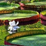Excursion Île Maurice : Jardin Botanique Pamplemousses