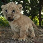 Ile maurice : faites la rencontres des fauve du parc casela comme e mignon lionceau
