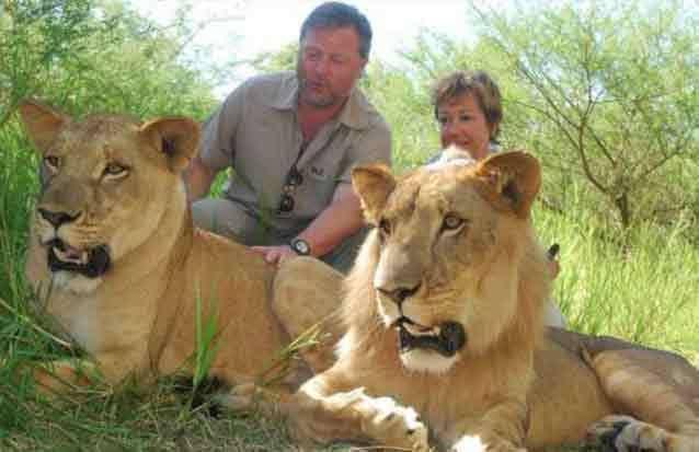 ile maurice : découvrez le quotidien du roi de la savane : le lion de Casela