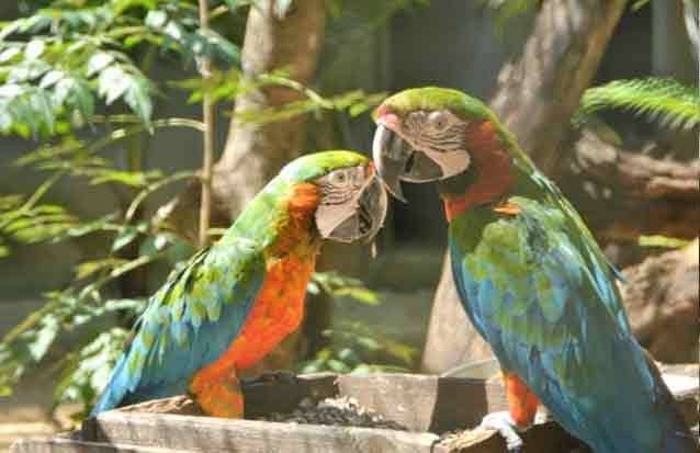 Ile maurice : observez la faune du parc casela comme lerus magnifiques perroquets