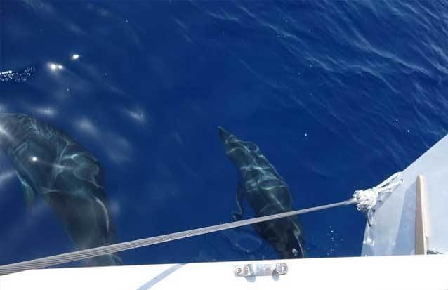 PArtez à la rencontres des duaphins long bec et duaphins souffleur de l'ile maurice en catamaran