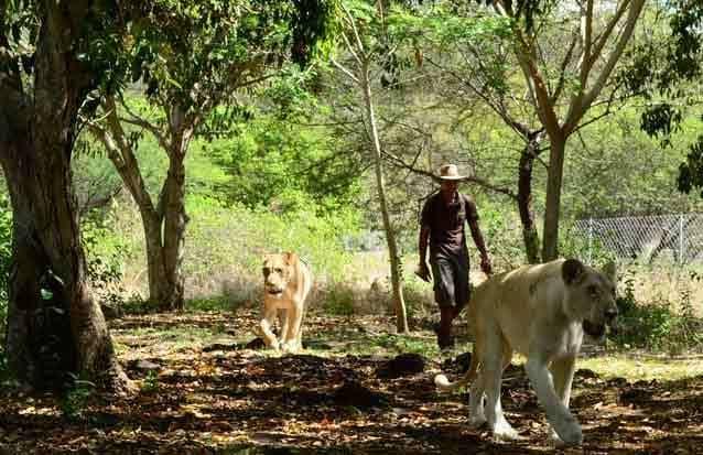 ile maurice: découvrez les lions dans leur habitat naturelle