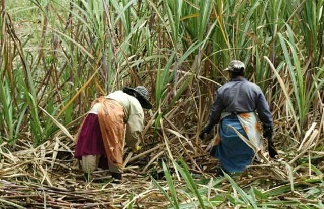 Canne à sucre en Île Maurice