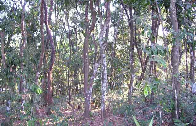 ile maurice: foret d'ebenes