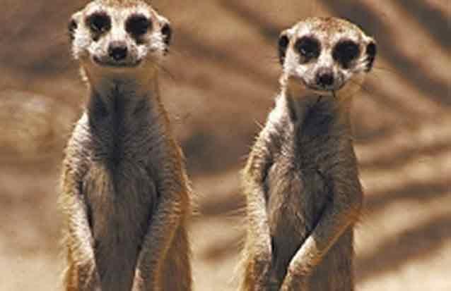 ile maurice : en compagnie des mangoustes
