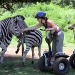 ile maurice : balade en segway à la rencontre d'un troupeau de zebres