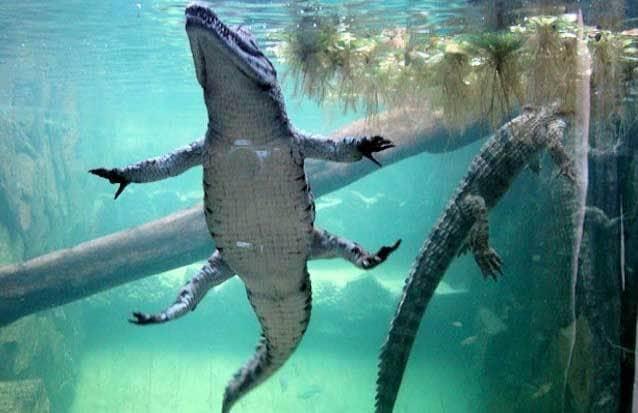ile maurice : découvrez les crocodiles mauriciens