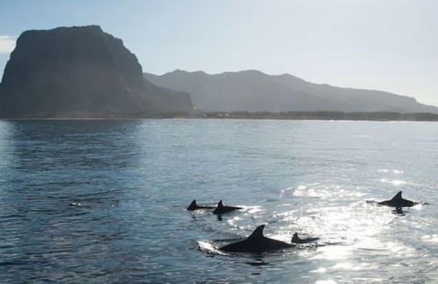 les côtes de l'Île Maurice accueillent enormément de dauphins souffleurs et dauphins long becs