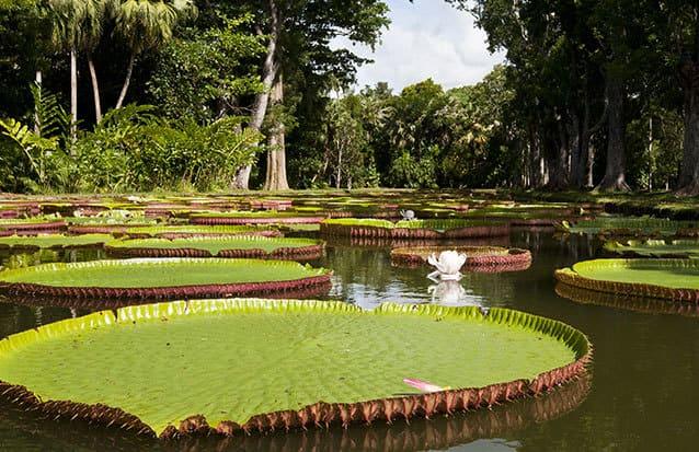 Le jardin aux pamplemousses est l'incontournable de vos vacances à l'île Maurice
