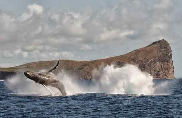 observation de baleines à bec gris à l'ile maurice