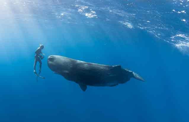 baleine : observer les cachalots de l'ile maurice en nageant à leurs côtés
