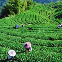 ile maurice : venez découvrir plantation de thé