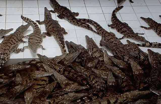 Des bébés crocodiles en île Maurice