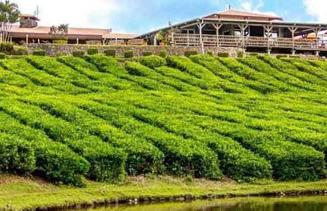ile maurice : la plantations de thé