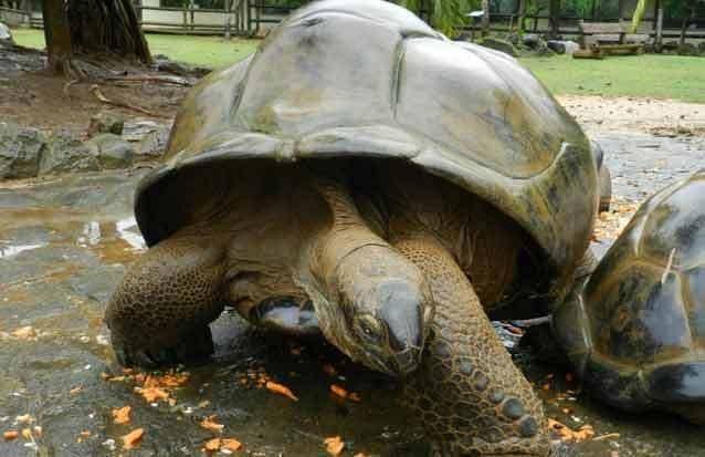 ile maurice : les tortues de l'ile maurice